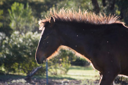 Min Min the brumby filly