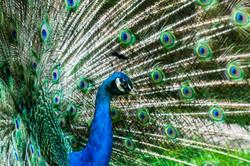 Peacock_DSC7609