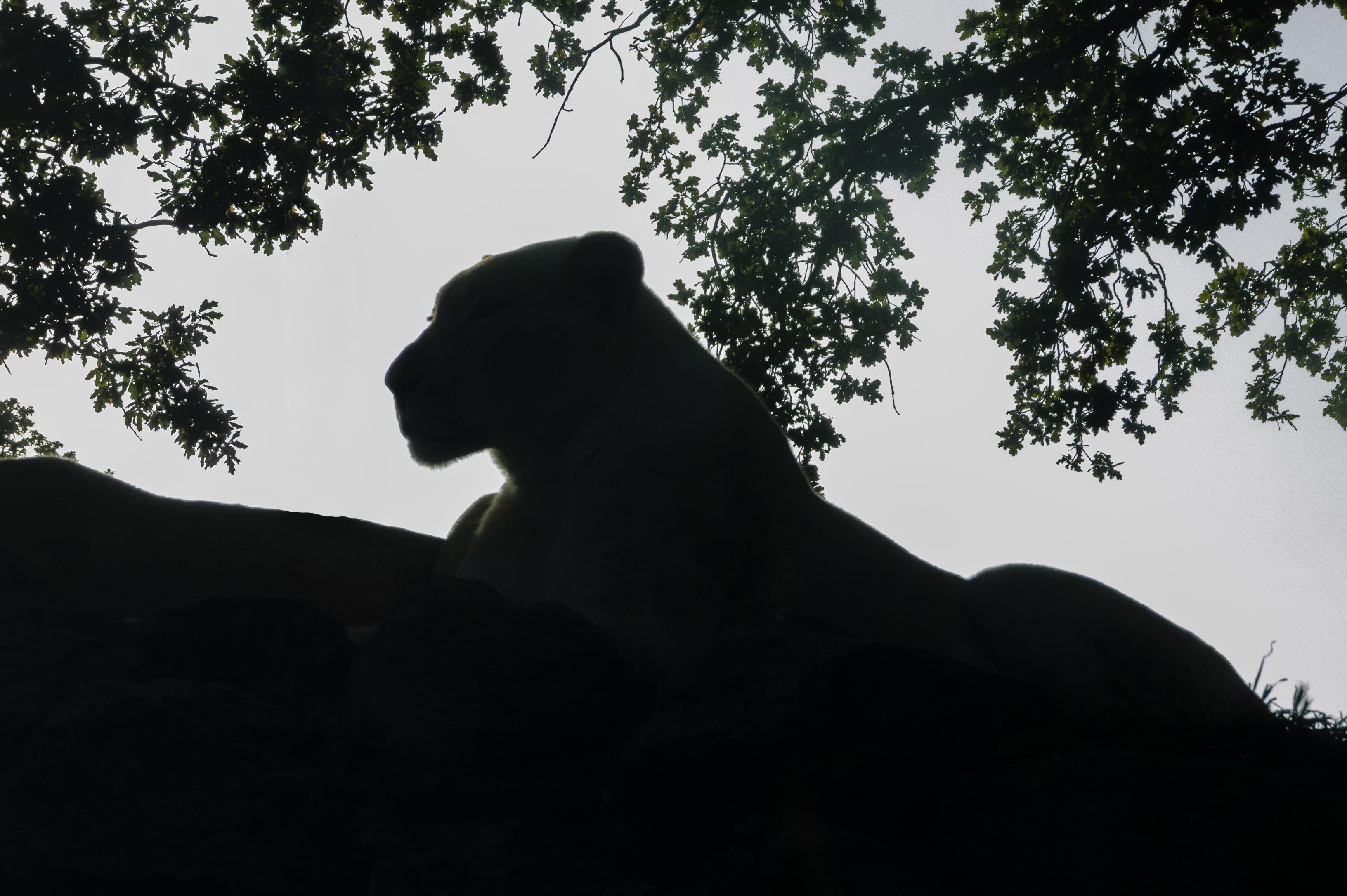 Lion_P1080627