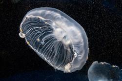Jellyfish_DSC0158