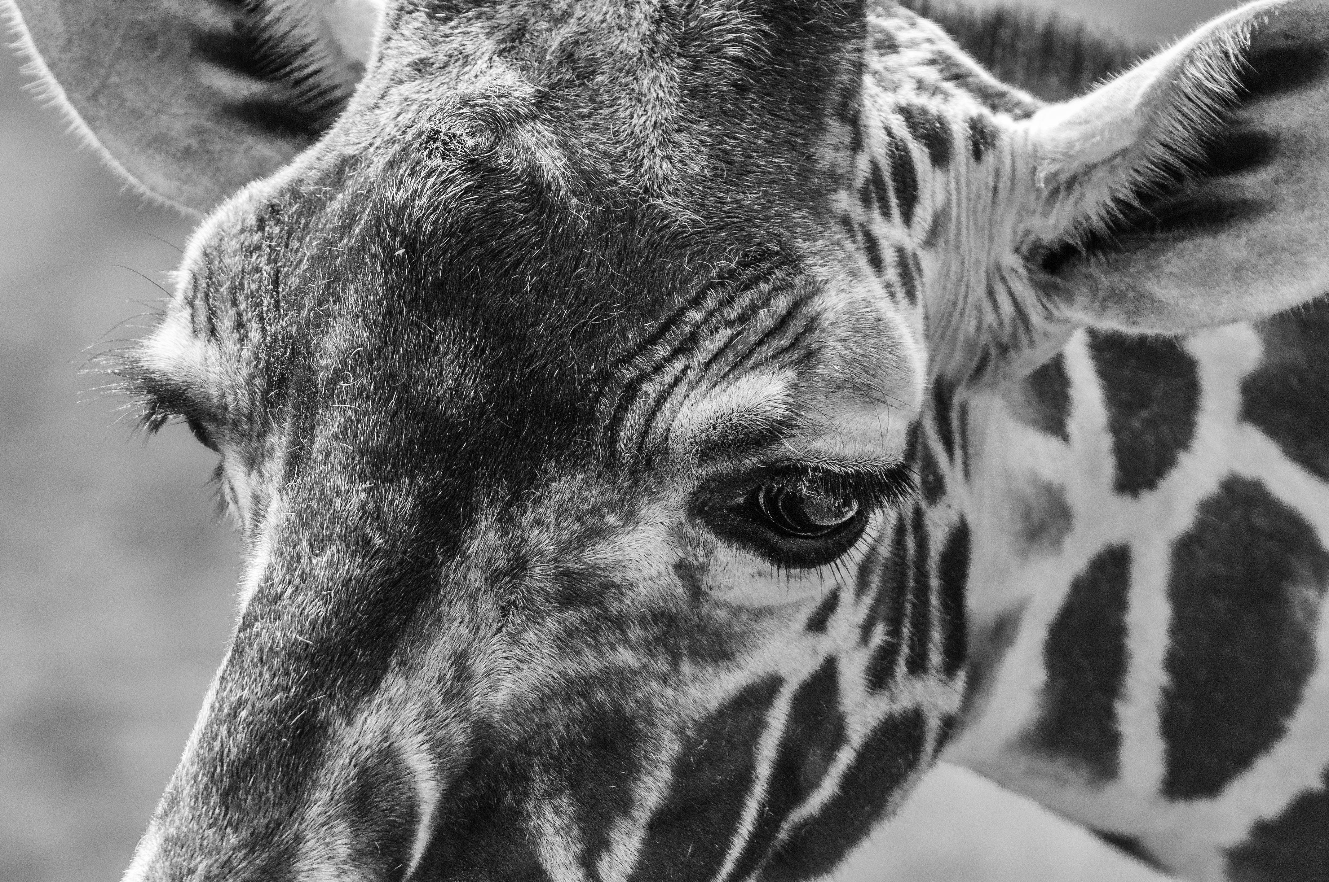 Giraffe_DSC7812