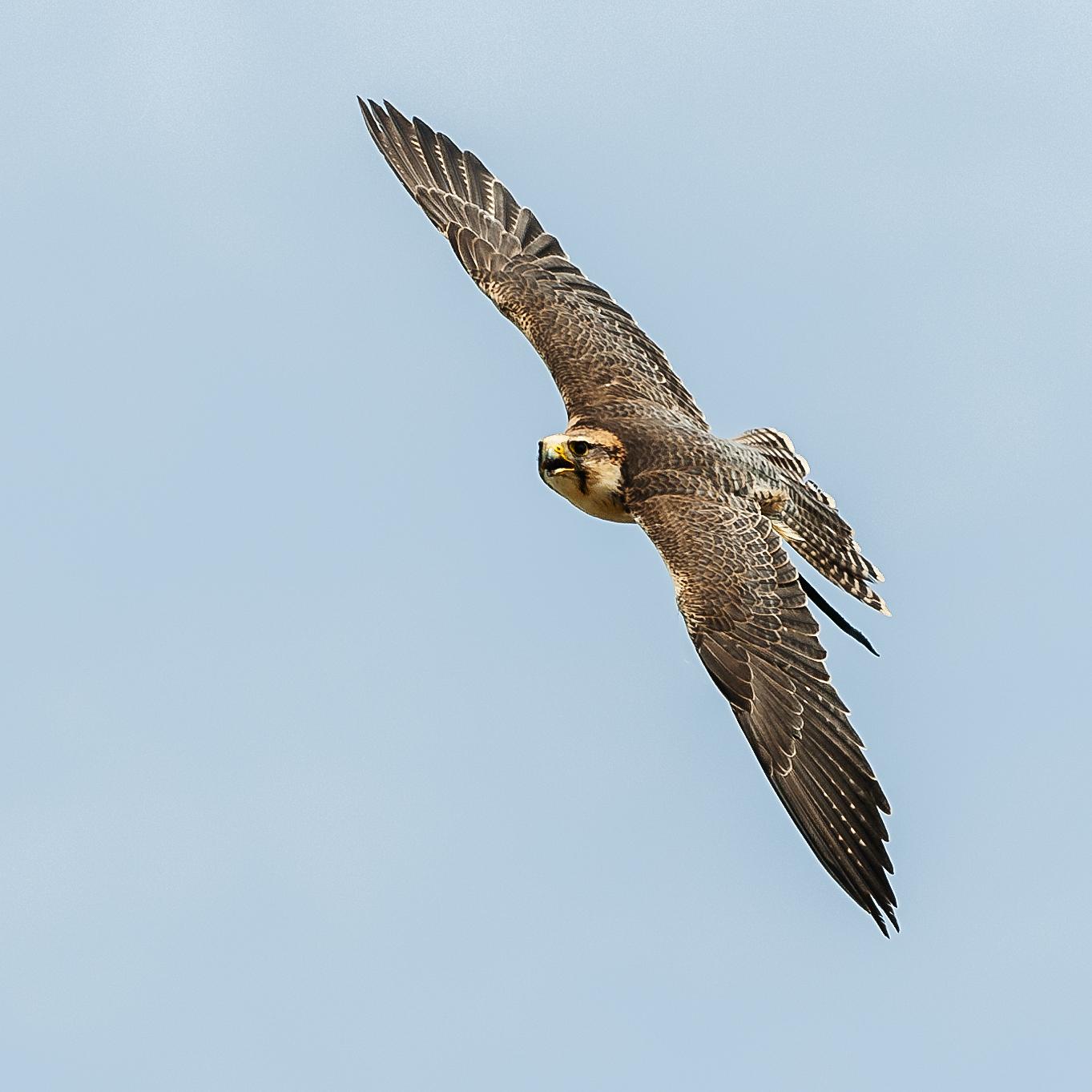 Hawk_DSC0732