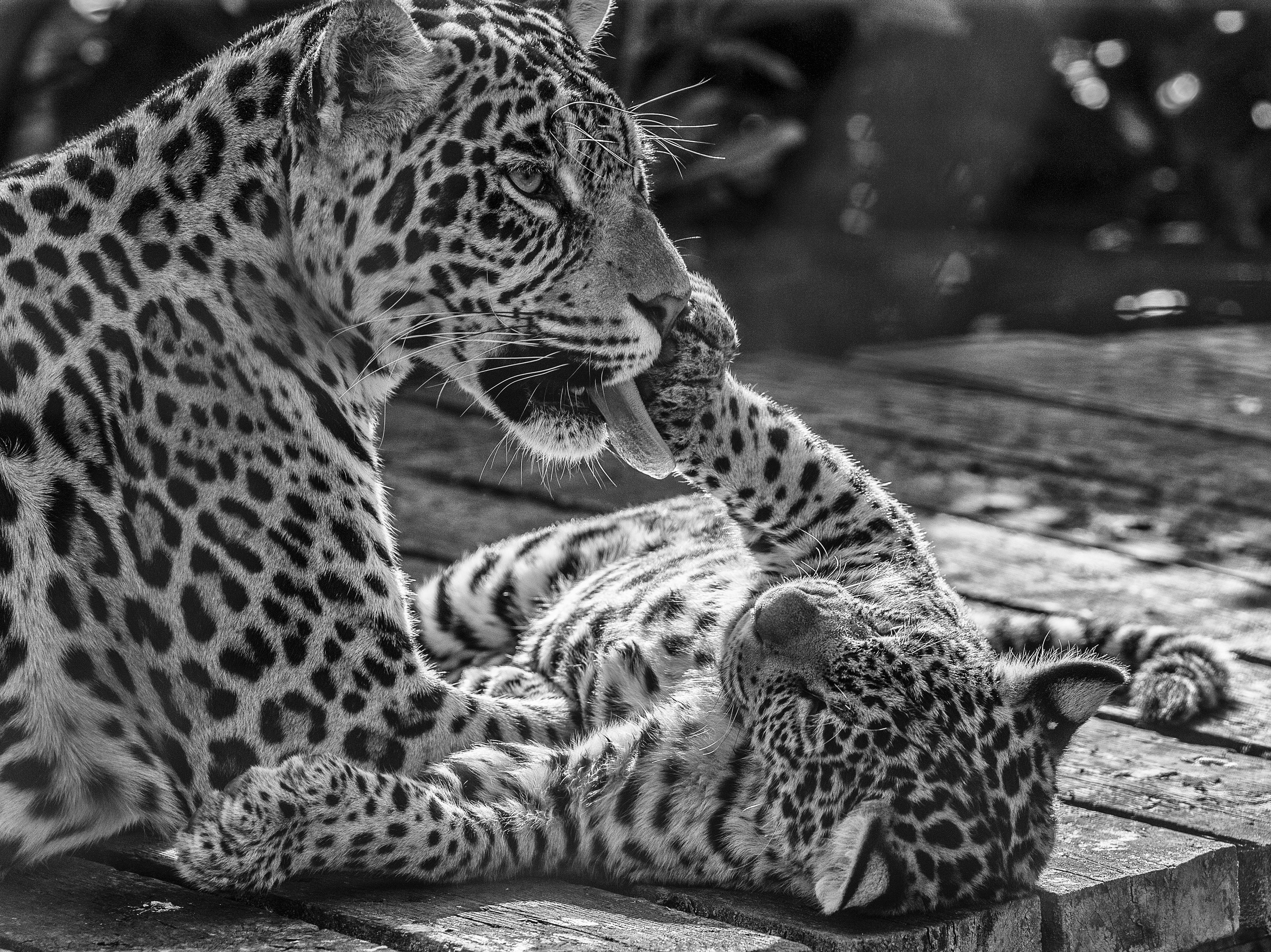 Jaguars_DSC9473SEFX
