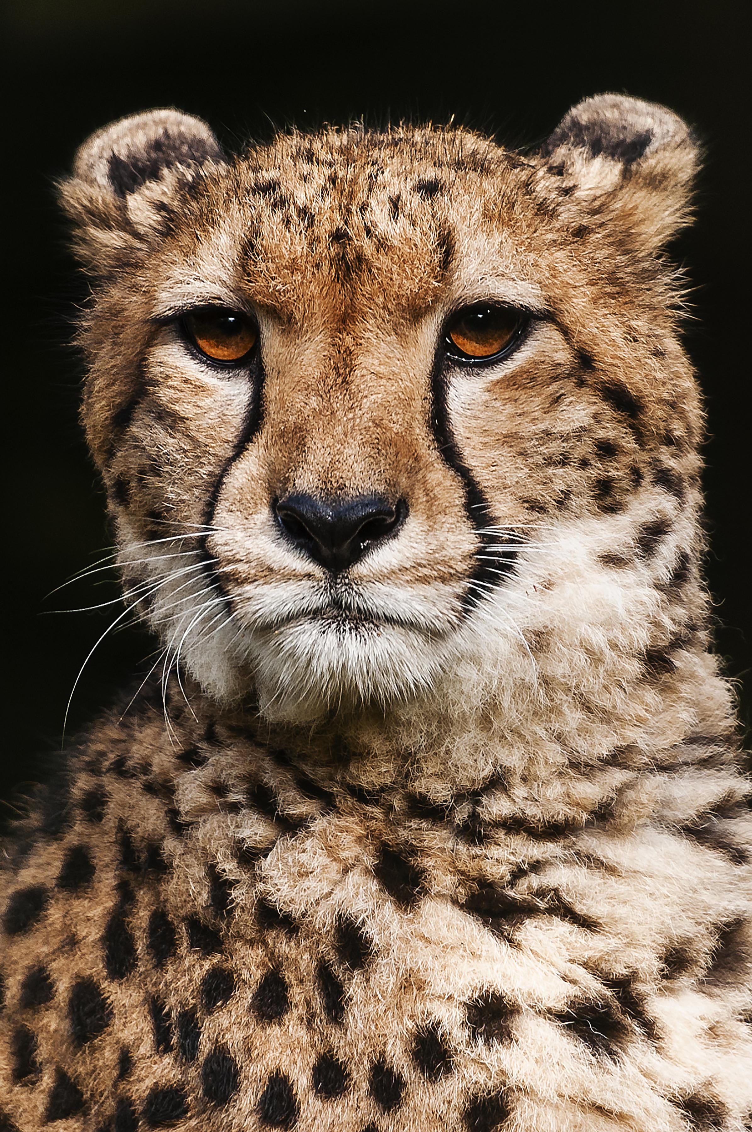 Cheetah_DSC6472Cr