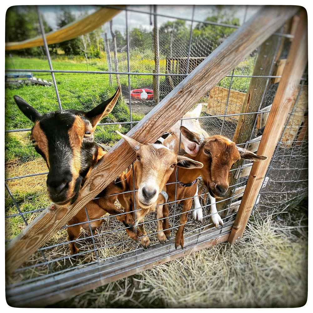 Nigerian Dwarf dairy goats waiting to be loved on and given treats