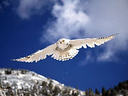 Snowy Owl in Flight.jpg