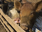 Root 'N Roost Farm - Pigs