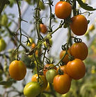Root 'N Roost Farm Tomatoes