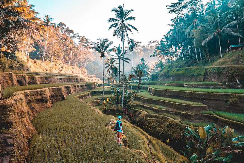 bali rainforest paddy fields