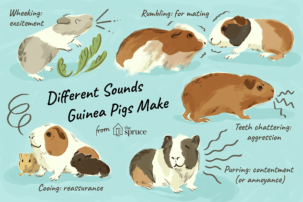 guinea-pig-vocalizations-and-body-language-1238882_Final-5c06cf9c46e0fb0001baa2d3.png