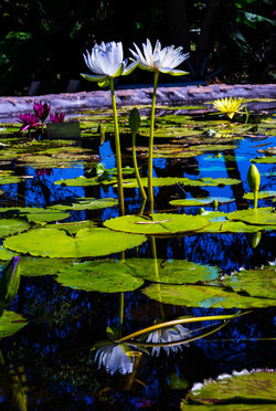 Waterlily and display gardens