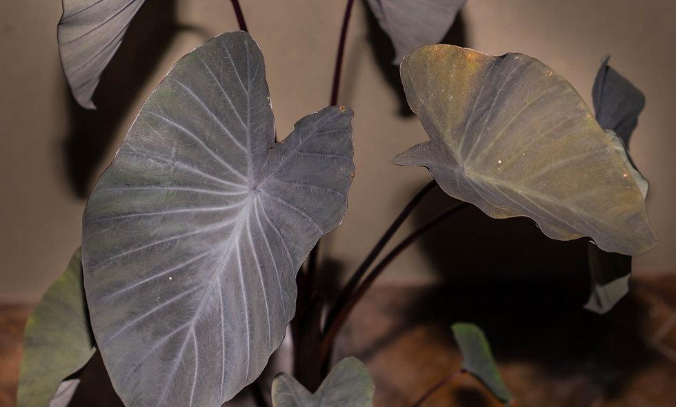 Colocasia Esculenta - Black Magic Taro