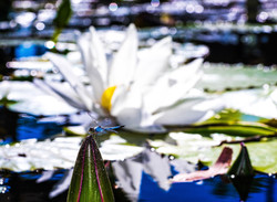 Waterlily and lotus