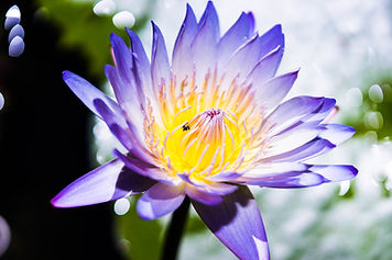Shop Tropical Waterlily online