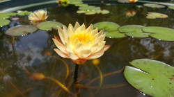 Nymphaea Clyde Ikins
