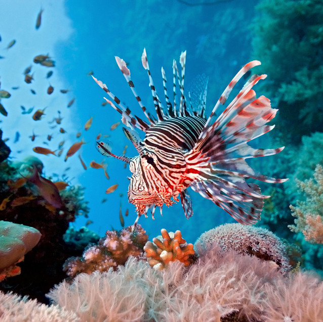 coral reef lion fish