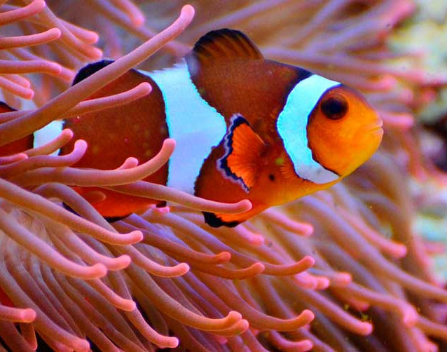 anemona clown fish