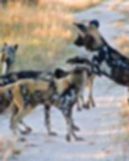 Painted Dogs.jpg