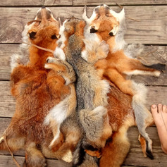 Three foxes, the tricksters, naturally tanned in three different ways. Left (red fox) is braintanned, middle (grey fox) is vegetable tanned with winged sumac, and right (red fox) is combination tanned.   All three methods create a different quality of leather, and each is well fitted to different circumstances.  The foxes in this photo were tanned in 2015, 2016, & 2018.