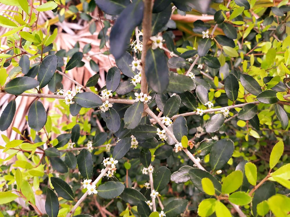 Yaupon holly (Ilex vomitoria) in flower