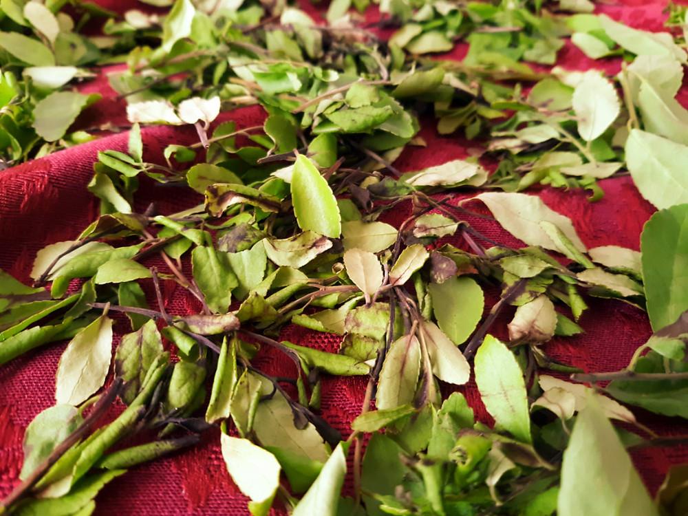 yaupon holly (Ilex vomitoria) tea leaves drying