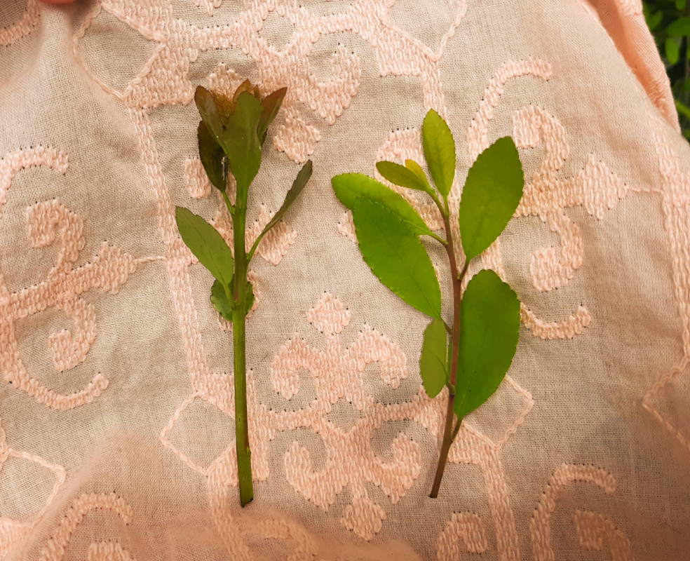Yaupon holly (Ilex vomitoria) young meristematic leaves for tea harvesting