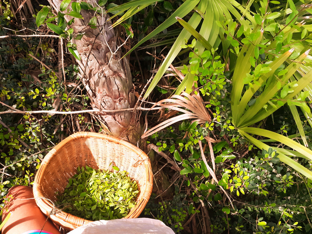 harvesting Yaupon holly (Ilex vomitoria) leaves for tea