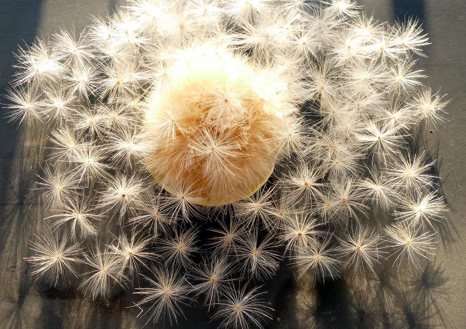artichoke seed head