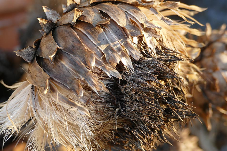artichoke seed head in Autumn, perhaps a cardoon?