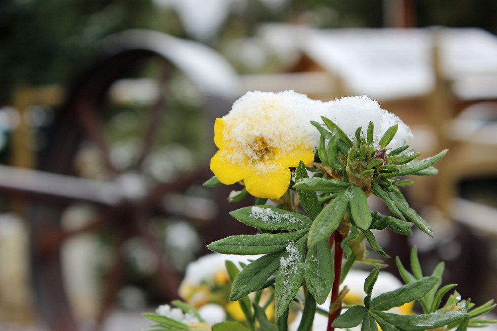 Snow on flowers and artifacts.jpg
