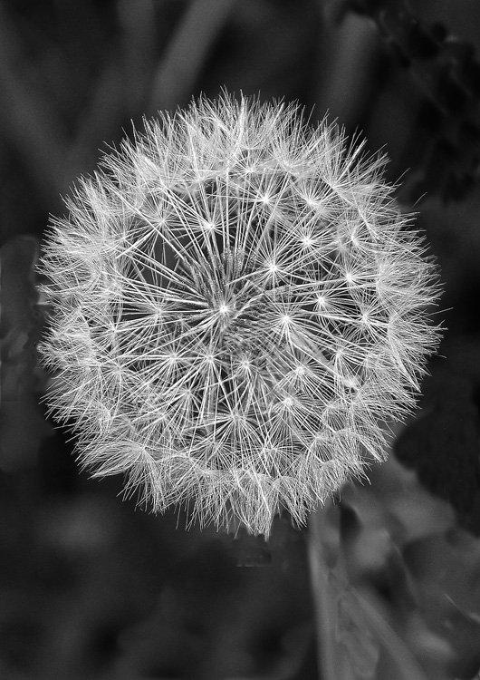 Dandelion seed head.jpg