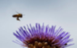Bee carrying egg.jpg