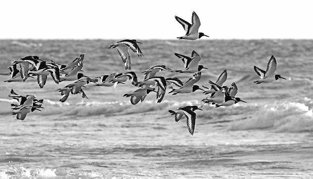 Oyster Catcher Fly Past  DPI.jpg