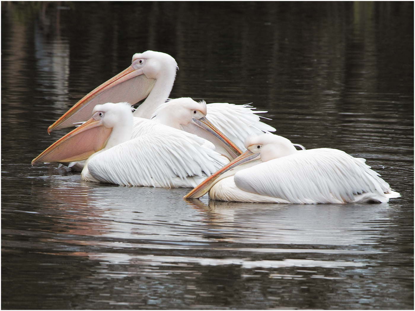 Great White Pelicans.jpg