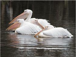 Great White Pelicans.jpg