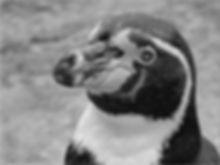 Humboldt Penguin  DPI_1.jpg