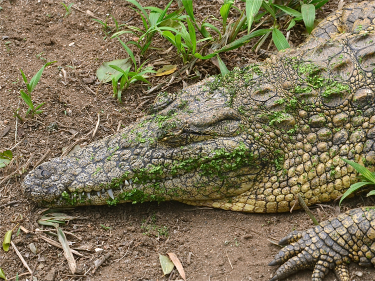 09 Sleepy Croc.JPG
