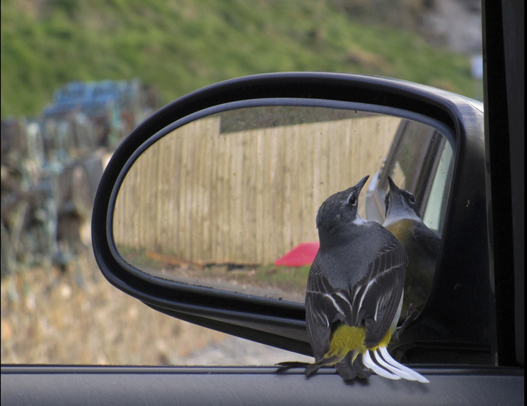 Infatuated yellow wagtail at Niarbyl.jpg