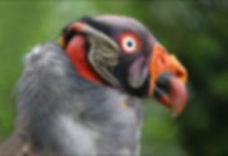 Emperor Vulture.jpg
