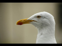 Herring Gull Head