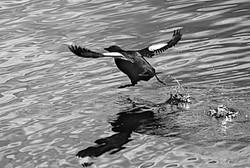Black guillimot's take-off.jpg