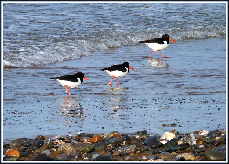 Oyster catchers.JPG