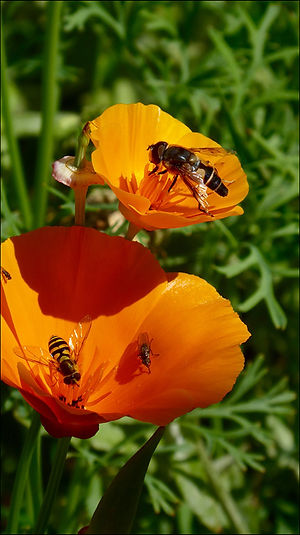 Insects & California Poppies, Strang.jpg