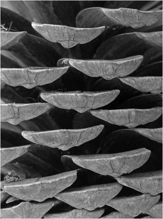 Pine Cone Scales .jpg