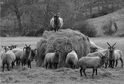 Loghtan Sheep.jpg