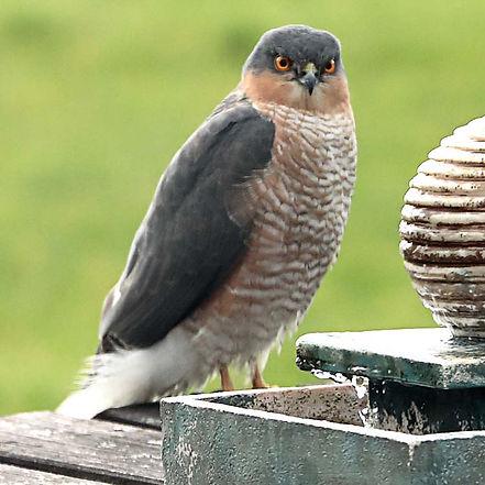 Sparrow Hawk (taken through a window).jp