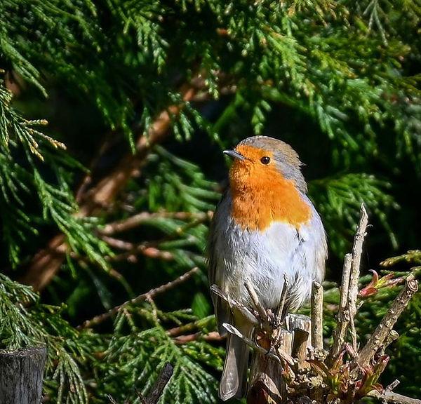 Robin from the back door.jpg