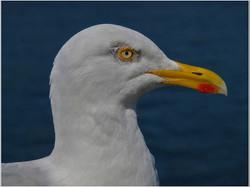 Herring Gull - Larus argentatus .jpg