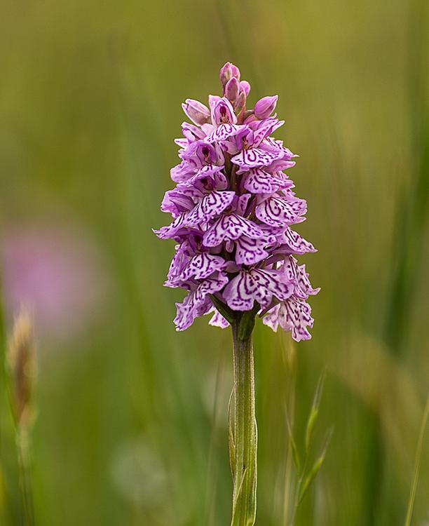 Wild Orchid, Ballaugh.JPG