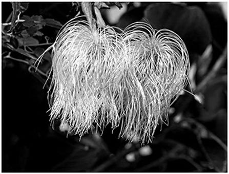 A. clematis seed head.jpg